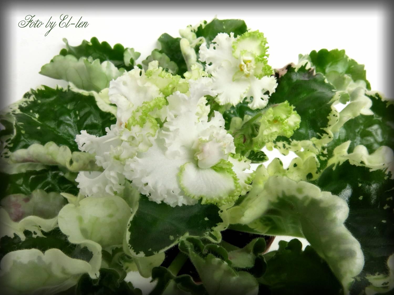 Листья орхидея иГипс Набор Танец Набор Танец