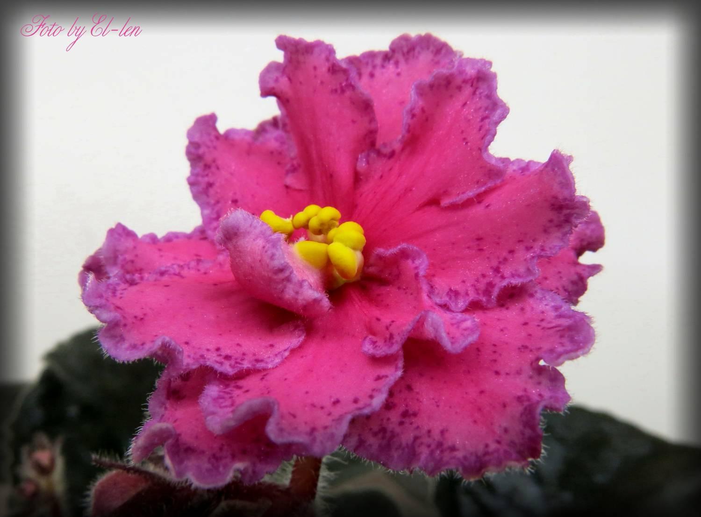 Фиалка сорта огненный цветок фото